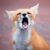 Fox Scream