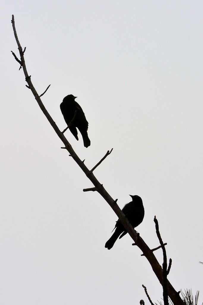 blackbirds 08