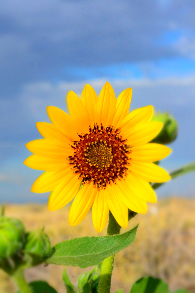sunflower 2014 01