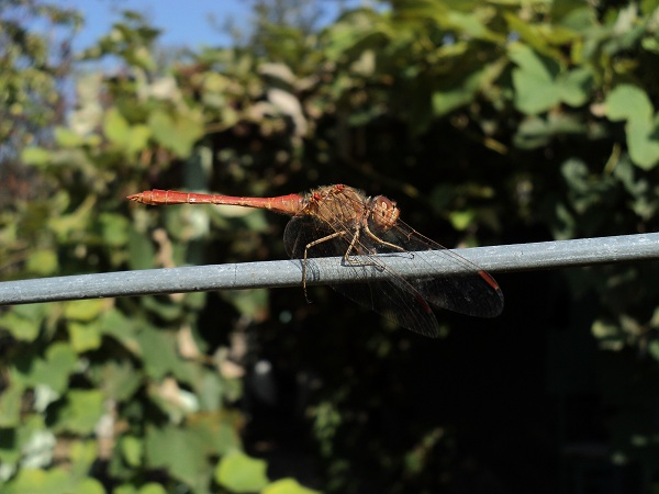 Red_Dragonfly_2