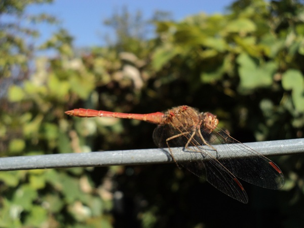 Red_DragonFly_1