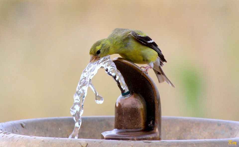 birds get thirsty too