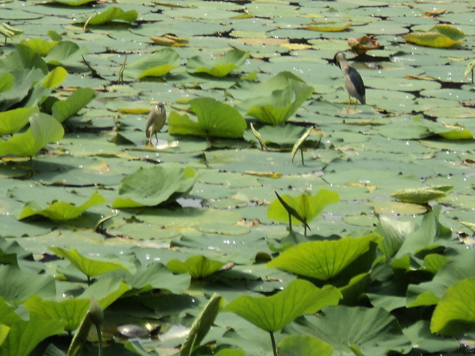 Night Egrets and Turtles on the Lotus Lake