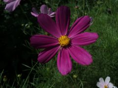 Violet Cosmos Flowers in My Garden