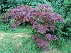 Japanese Red Acer Tree