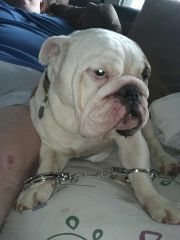 Curley, the English Bulldog
