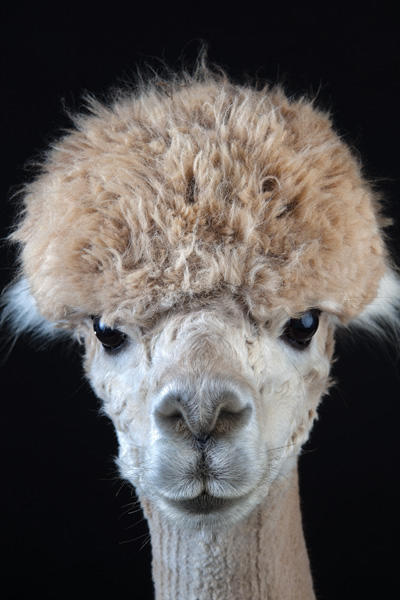 raising-alpacas-huacaya-bowl-cut.jpg
