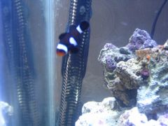 Half stripe black clown, tank bred
