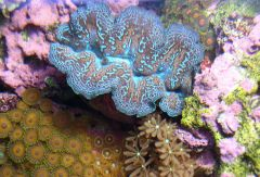 My clam, with zoas and cloves