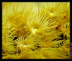 Yellow_Polyps2