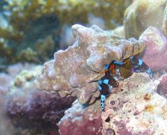 Electric Blue Hermit crab (calcinus elegans)