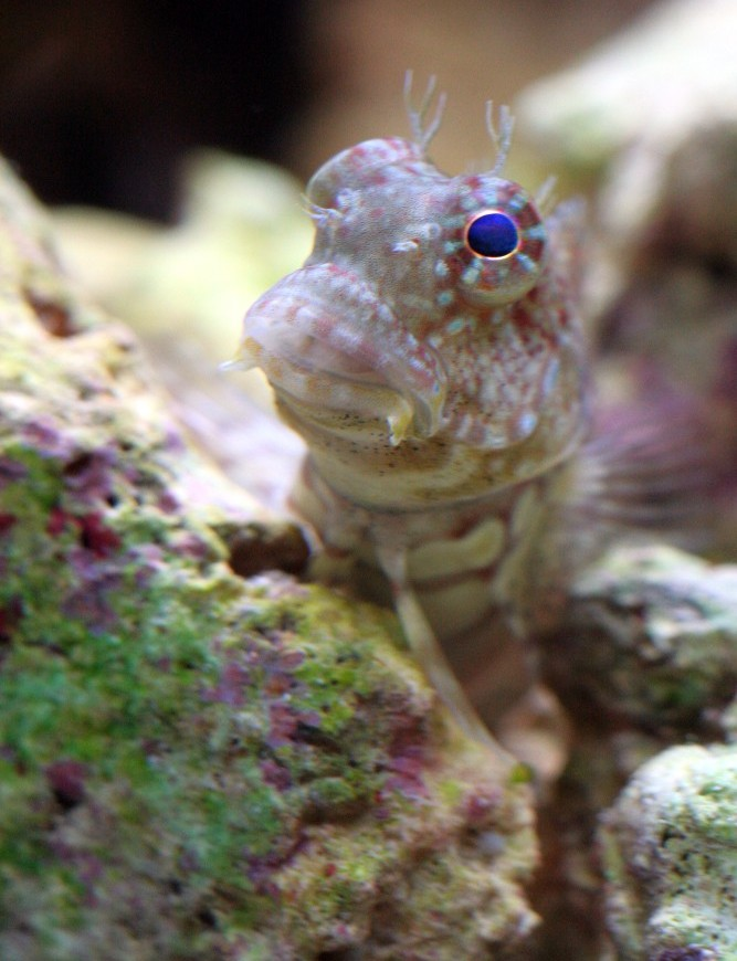 """Poochie"" - The cutest Blenny around..."