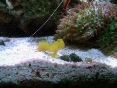 Grumpy the Goby