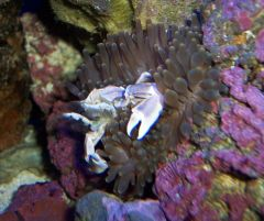 porcelain crab and anemone