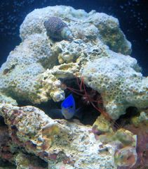 blue damselfish and peppermint shrimp - 'tiny faces'
