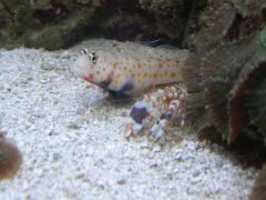 Tiger Pistol Shrimp