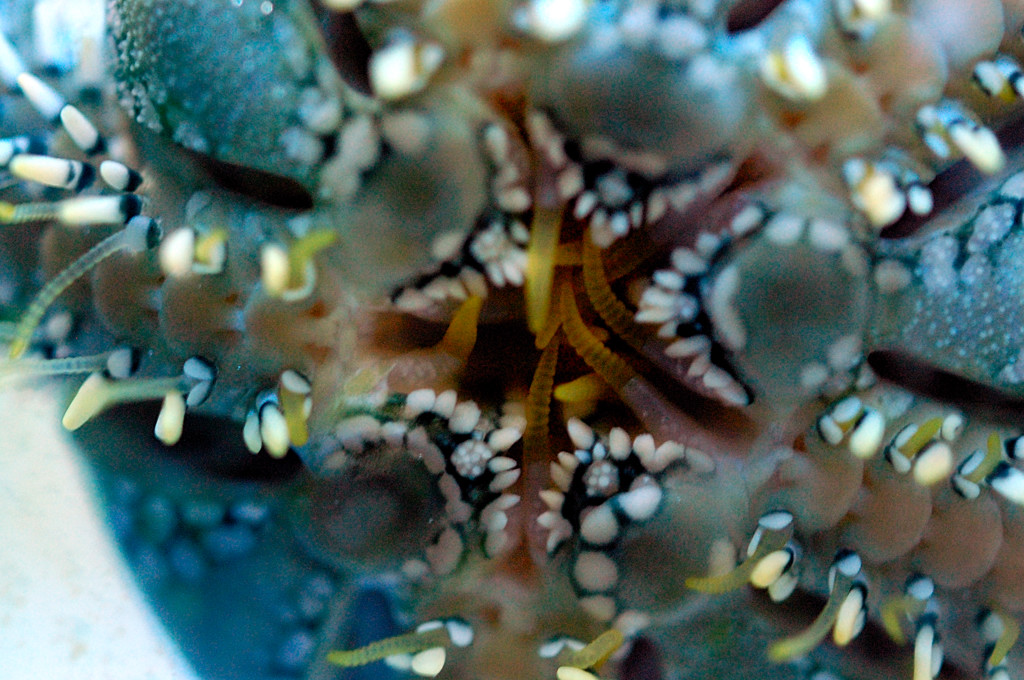 The mouth of the Green Serpeant Starfish