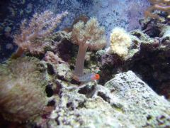 Red head goby and corals 10-1-05