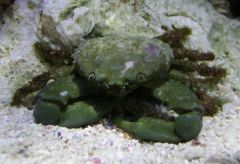 emerald crab upclose