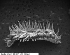 SEM image of bristle worm