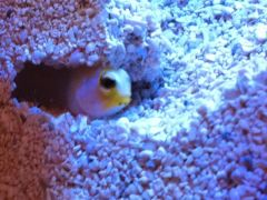 Jawfish burrow, ant-farm style!