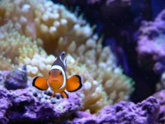 My favorite clownfish pic