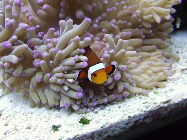 Ocellaris Clownfish and Sebae