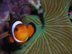 My Ocellaris Clownfish