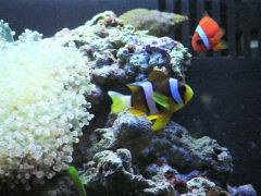 African Clownfish, Tomato Clown and Frogspawn