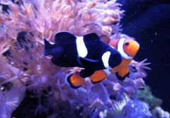 Once you go black (clownfish)...