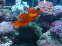 mis-barred golden stripe maroon clownfish