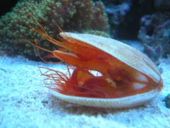 My Flame Scallop