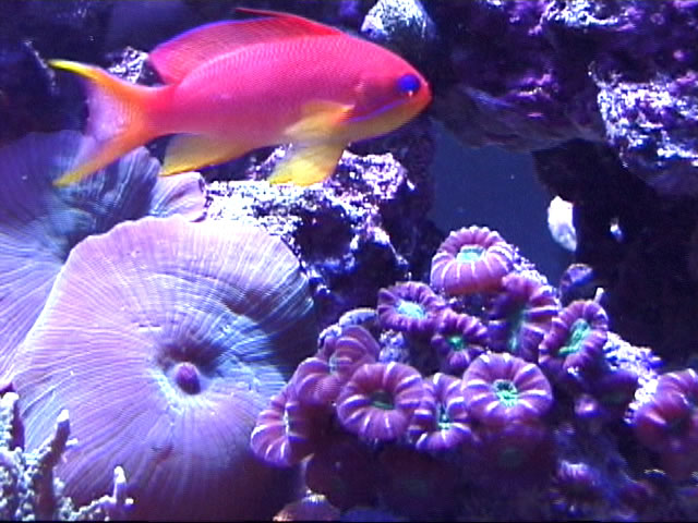 Lyretail Anthias, Candy Coral