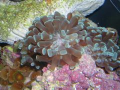 unknown coral