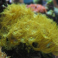 Yellow polyps