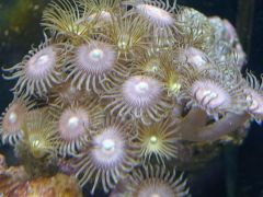 Pink and Yellow Polyps