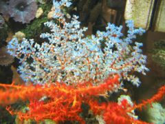 blue sea fan