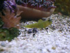 Scooter Blenny and Yellow Watchman Hanging out.JPG