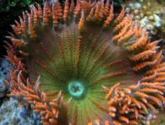 Red/Green Flower Anemone