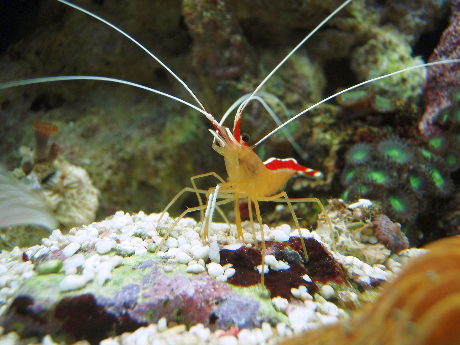PIG the cleaner shrimp in action!