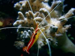 Jacques the pacific cleaner shrimp