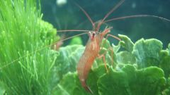 Peppermint Shrimp on Mermaid Fan