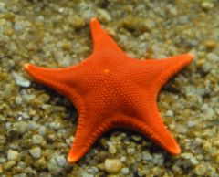 Orange Star Closeup