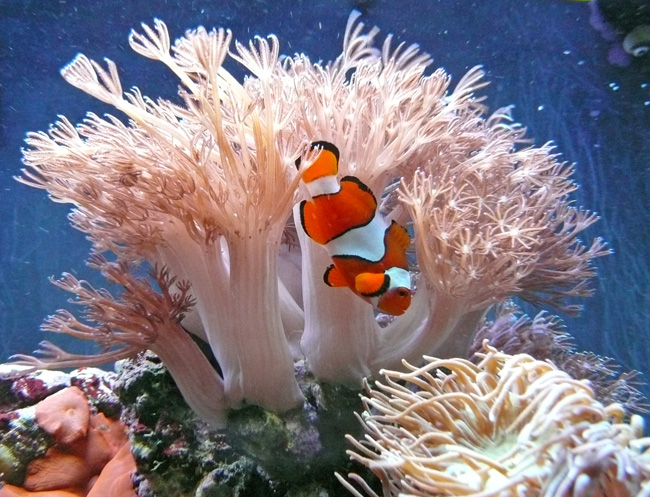 Clowfish & Xenia