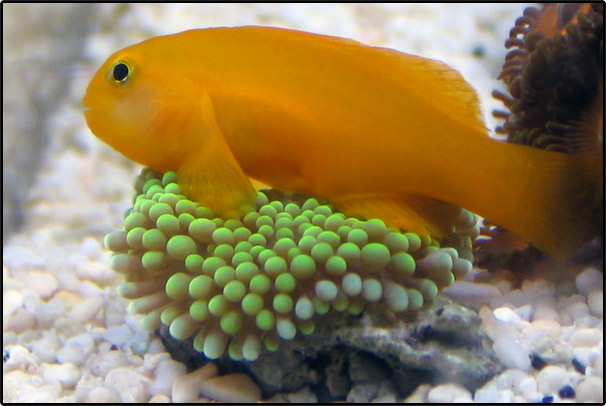 yellow-clown-goby