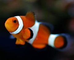 Our Clownfish