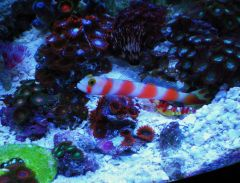 Pink Bar Goby & Pistol