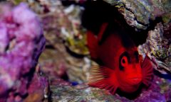 flame hawk fish