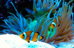 My clown fishes hosted in Elegance !