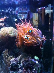 My clown fishes hosted in RBTA